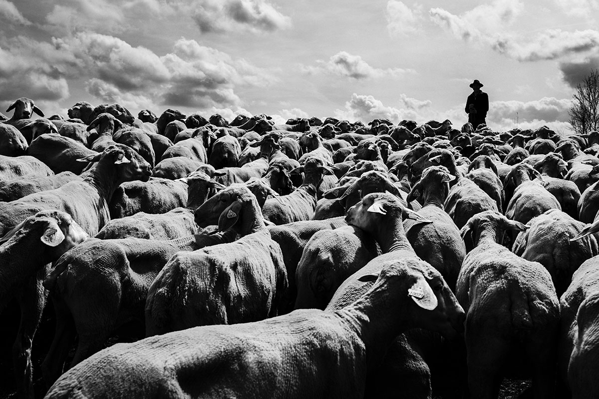 photo reportage transhumance moutons lorraine elevage agriculture
